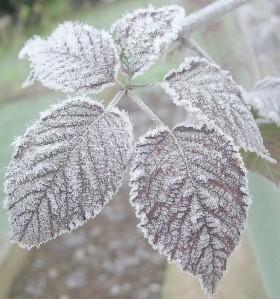 feuilles gelées - frozen leaves