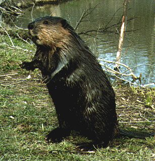 Castor beaver totem