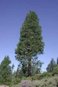 incense_cedar_in_wild