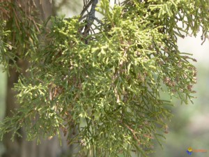 Juniper-leaf-Phenicia