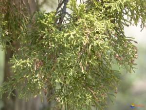 genevrier Juniper-leaf-Phenicia