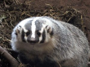 badger - totem animal
