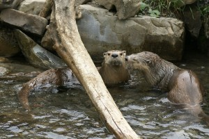 loutre-riviere-01