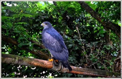 aigle-bleu-du-chili-fauconnerie-bourbansais