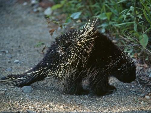 porcupine - porc-.épic