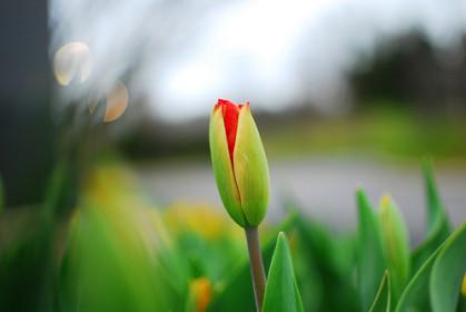 BEAUTIFUL FLOWER BUD  beau bouton de fleur