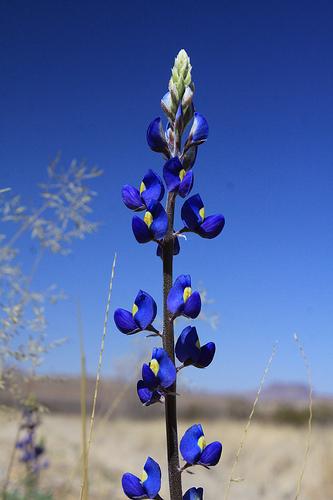 fleurs-bleu-dans-ciel-bleu