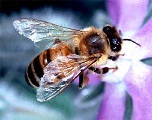 abeille-2[1]