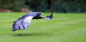 Tilean Or Blue Eagle