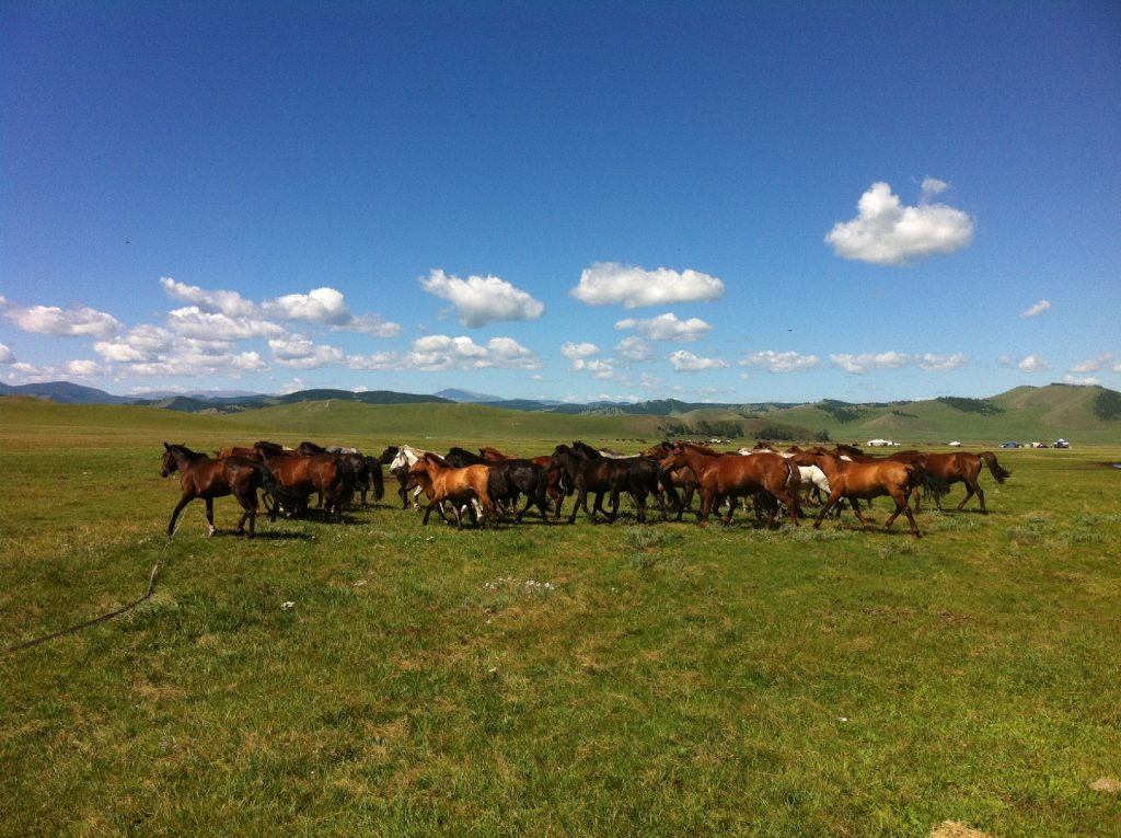 Chevaux sauvages de la Mongolie