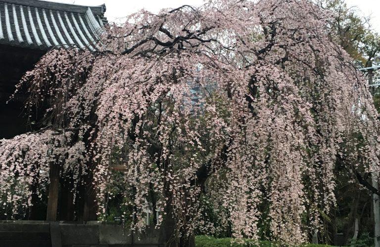 Sakuras : temps des cerisiers en fleurs